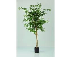 Japanese Maple Autumnal 5ft €175