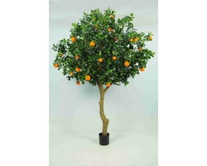 Golden Orange Tree 6ft €575