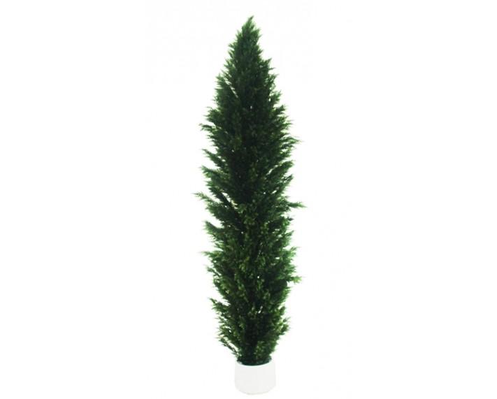 Cypress Tree 12ft €135