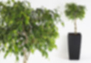 Office Plants | Ficus Exotica
