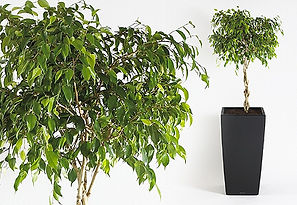 Office Plants | Ficus Exotica