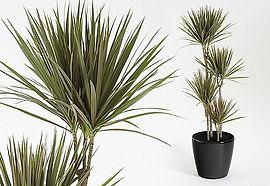 Plant Hire | Dracaena Marginata Bicolour