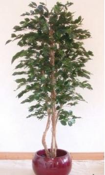 Ficus Tree 5ft €135