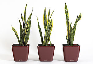 Office Plants | Sansevieria - Mother in Law's Tongue
