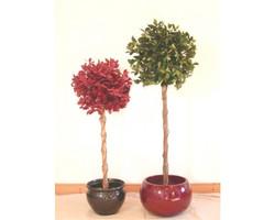 Ficus Retusa Green 4ft €44