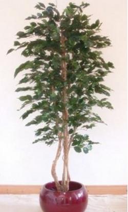 Ficus Tree 6ft €165