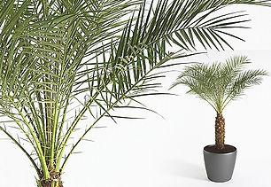 Office Plants | Phoenix Roebelenii - Pygmy Date Palm