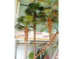 Fan Palm 17ft €2200