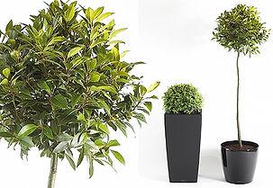 Artificial Plants | Buxus Sempervirens - Common Box