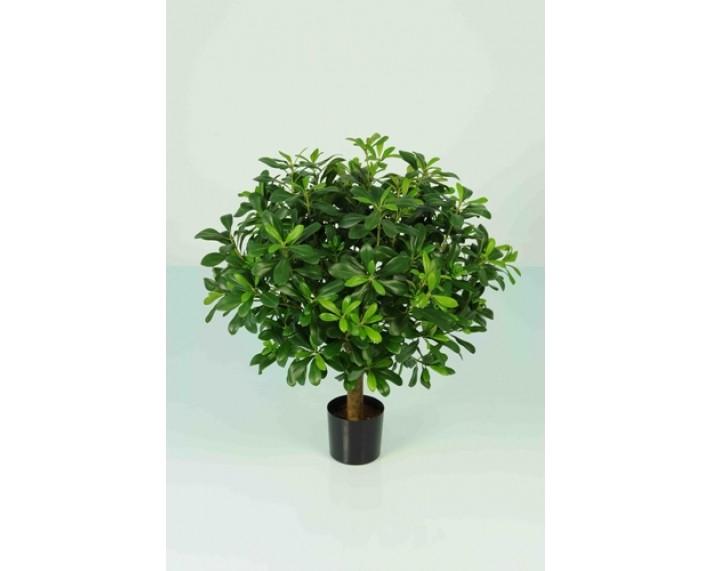 Pittisorum Potted Tree 70cm €110