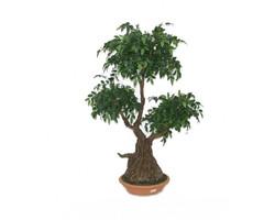 Mini FicusBonsaiWood Tree 100cm €255