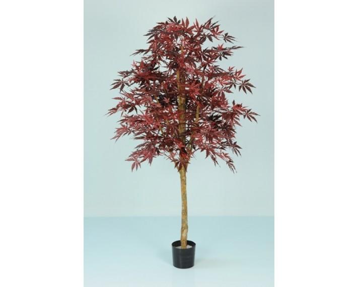 Japanese Maple 5ft €135