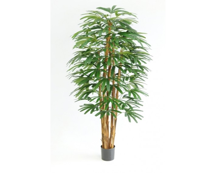 Rhapis Tree 6ft €245