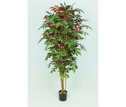 Capensia Tree 4ft €110