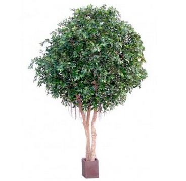 Ficus Giant 10ft €1550