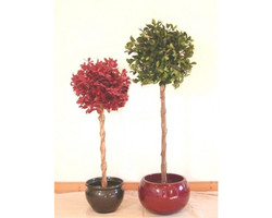 Ficus Retusa Red 4ft €44