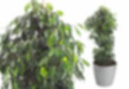 Artifical Plant | Ficus Danielle