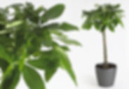 Office Plants | Pachira Aquatica - Money Tree