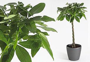Office Plants | Pachira Aquatica - Money Tree