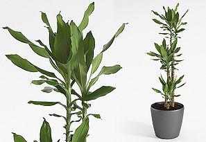 Artificial Plant | Dracaena Steudneri