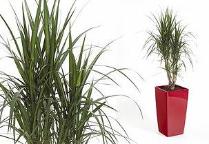 Artificial Plant | Dracaena Marginata (Branched) Dragon Tree