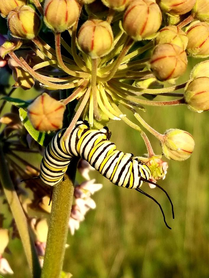 Common Milkweed: Krista Furney