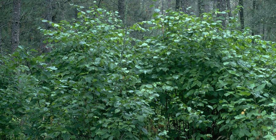 American Hazelnut Shrubs, bare-root