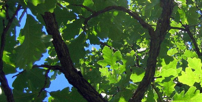 Bur Oak Tree, bare-root