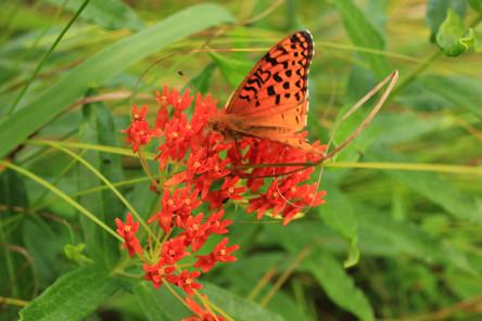 Butterflyweed: John Bonde
