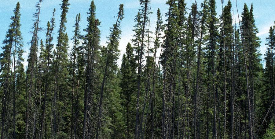 Black Spruce Conifer Tree Seedling