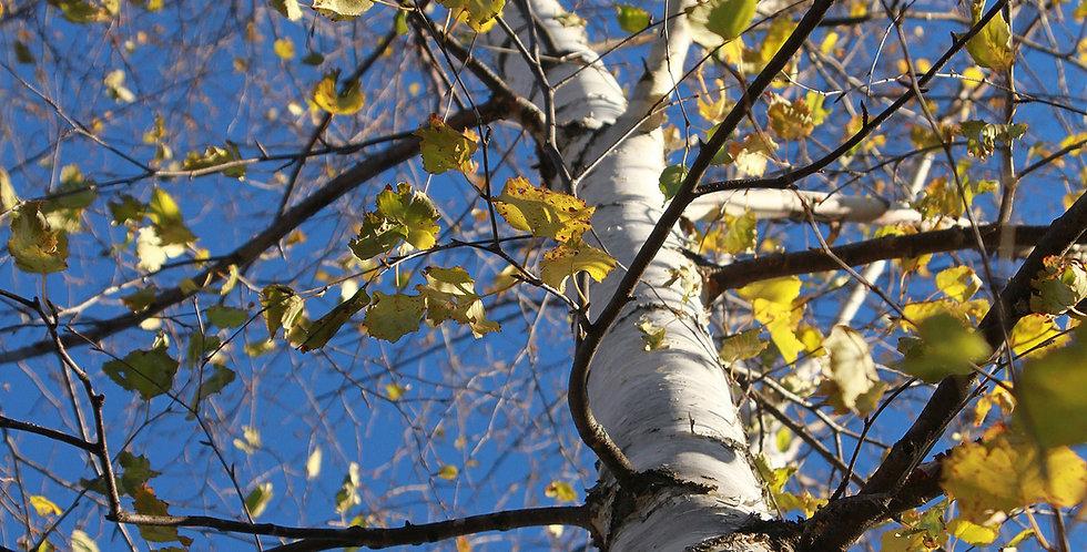 Paper Birch Tree, bare-root
