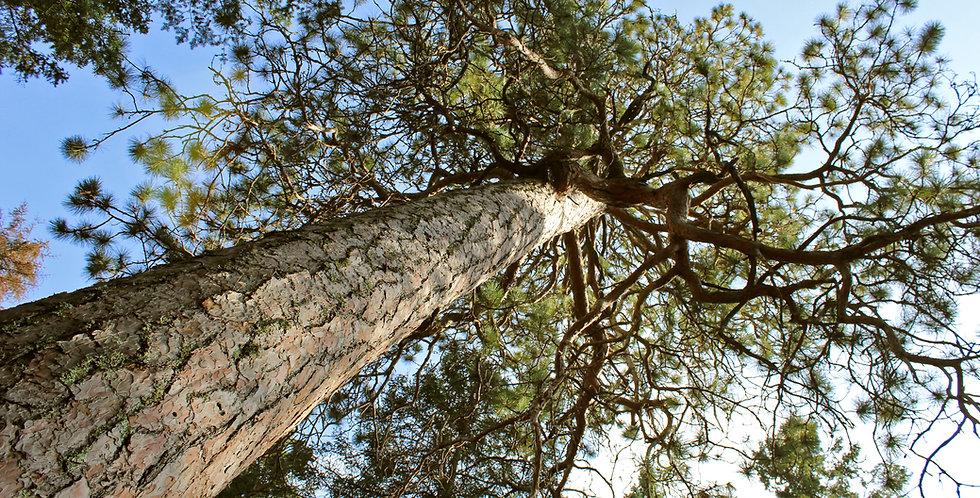 Red Pine (Norway) Conifer Tree Transplants