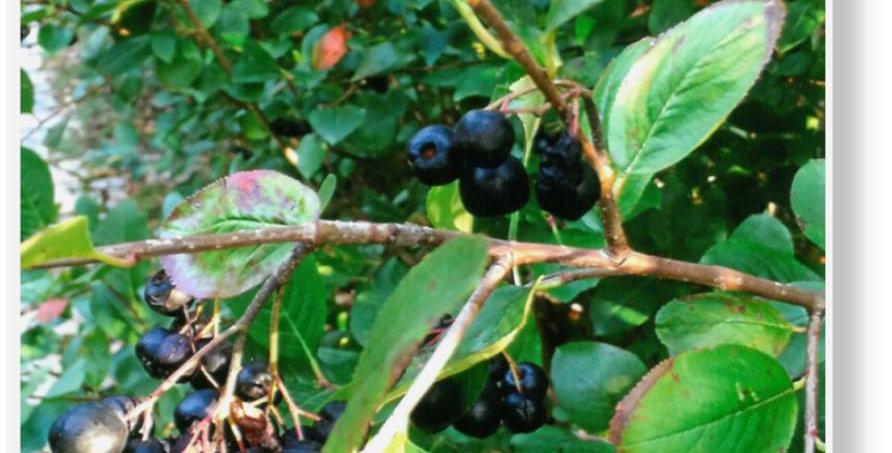 Black Chokeberry Shrubs, bare-root