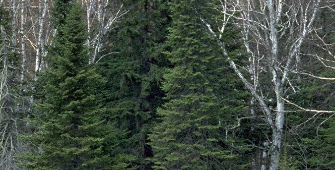 Balsam Fir Conifer Tree Seedling