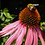 Thumbnail: Pollinator Kit-36 pack of plugs