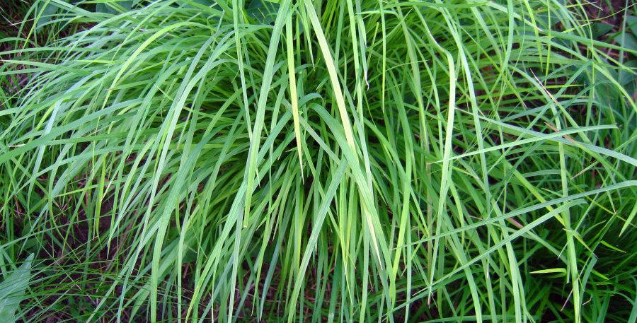 Little Bluestem-6 pack of grass plugs
