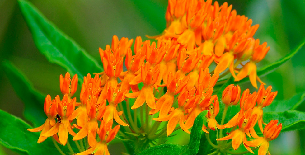 Butterfly Weed Flowers-6 pack of plugs