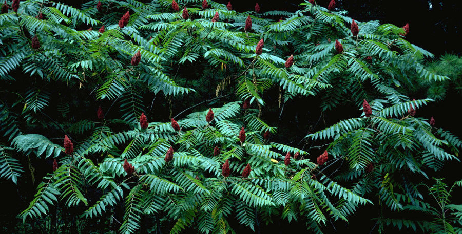 Staghorn Sumac Tree, bare-root