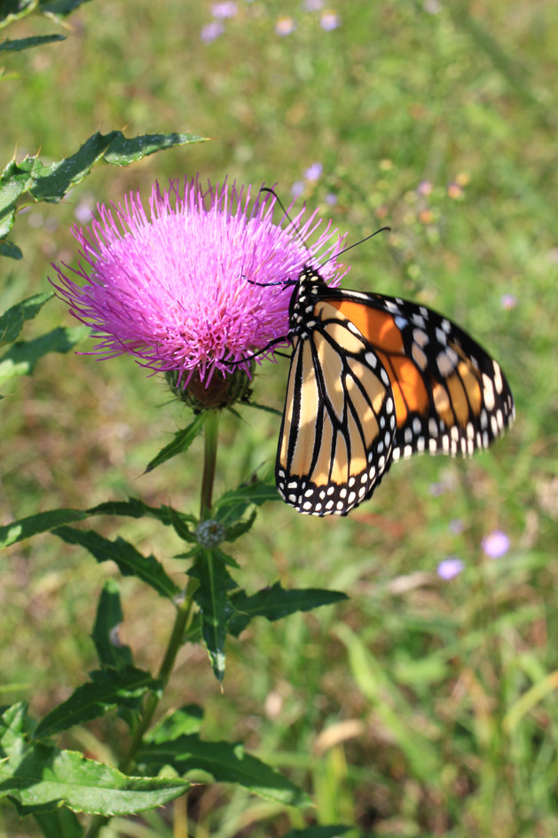 Field Thistle with Butterfly: John Bonde