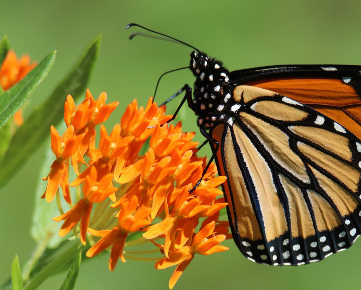 Butterflyweed: Jennifer Quam