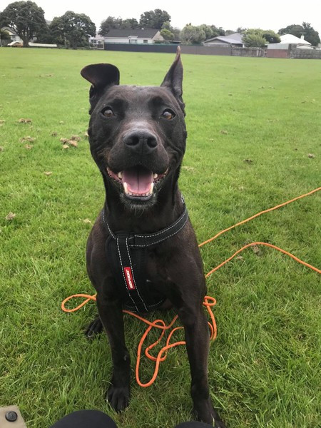 Dre - the happy staffy