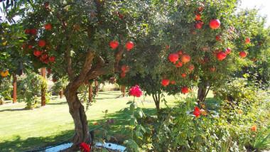 Invista em árvores frutíferas no paisagismo