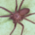 brown recluse.png