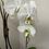 Thumbnail: White Umbrella Orchid