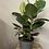 Thumbnail: Rubber Plant