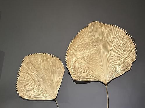 Dried Licuala Fan Palm