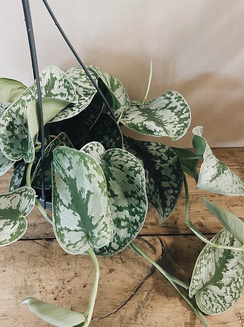 Scindapsus Pictus Haning Plant