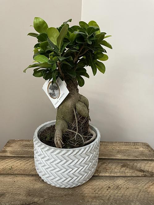 Fiscus Ginseng Bonsai Tree
