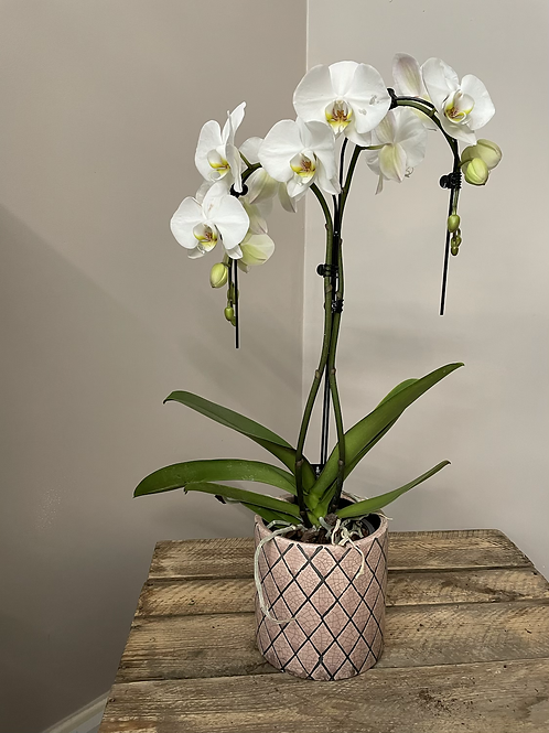 White Umbrella Orchid
