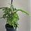 Thumbnail: Monkey Leaf (hanging)